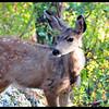 Molting Mule Deer Fawn