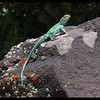 Collared Lizard