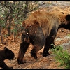 Black Bear Cub Following Mama