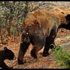 Black Bear Cub Following Mama