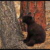 Black Bear Cub Licking a Tree