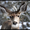 Corn-nosed Mule Deer Doe