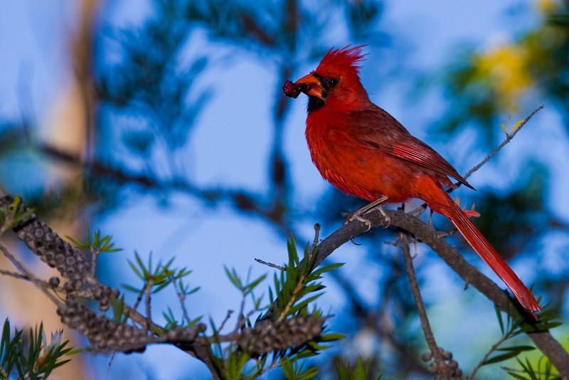This cardinal was foraging at Boyce Thompson Aboreatum near Superior, Arizona
