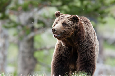 This Grizzly bear is pestered by the mosquitos on the flanks of Mount Washburn. This bear is known as Scarface because both sides of his face have been blemished in fights over the years.