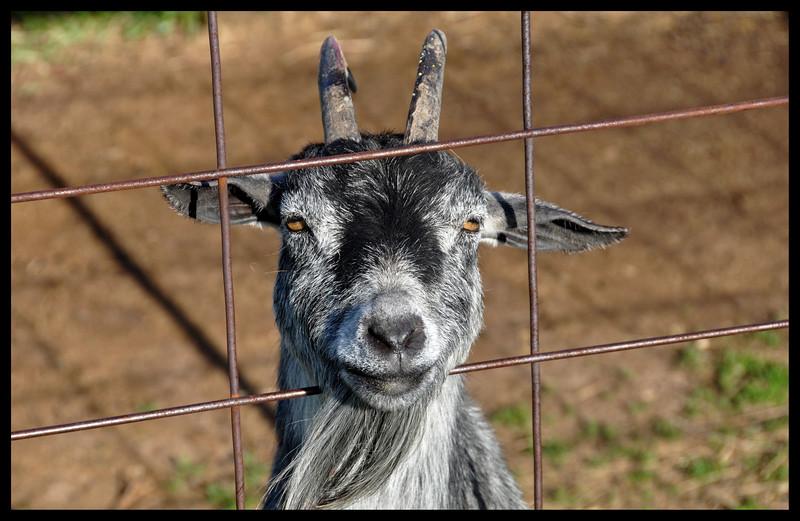 Mukwonago Goat