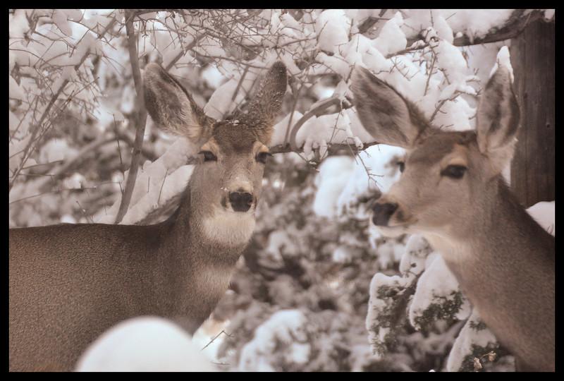Mule deer in snow.