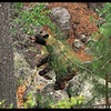 Snarling Female Black Bear in Canyon