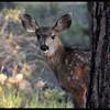 Peek-a-Boo!  Mule Deer Fawn