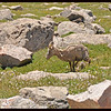 Bighorn Sheep Watering the Wildflowers