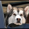 """Lonely Dog in Car """"My people left me in the Jeep while they went somewhere, but luckily, they left my window down - I'm so lonely and sad!"""""""