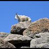 Mountain Goat on top of a Mountain