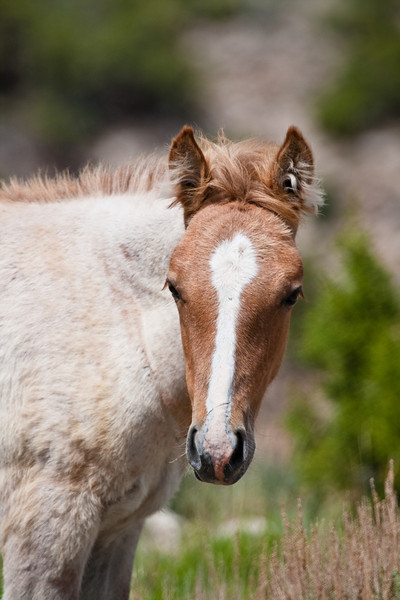 A young mustang colt grazes in Bighorn Canyon NRA. He will one day take over his own group in the Pryor Mountain Wild Horse Range in North Central Wyoming and South Central Montana.