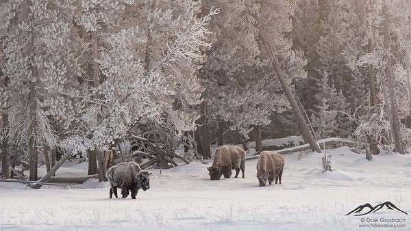 Frosty Trees, Frosty Bison