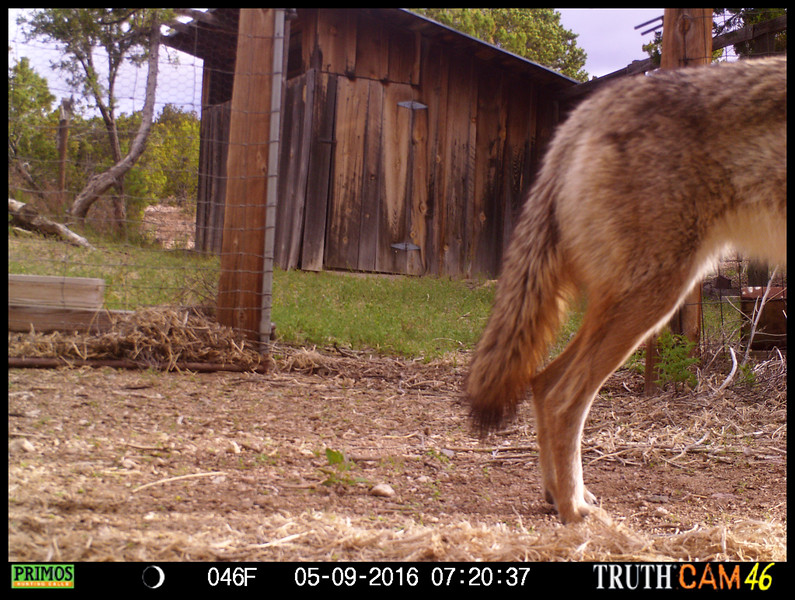 West end of a coyote facing east (via game camera).
