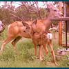 Mule deer doe with fawn.