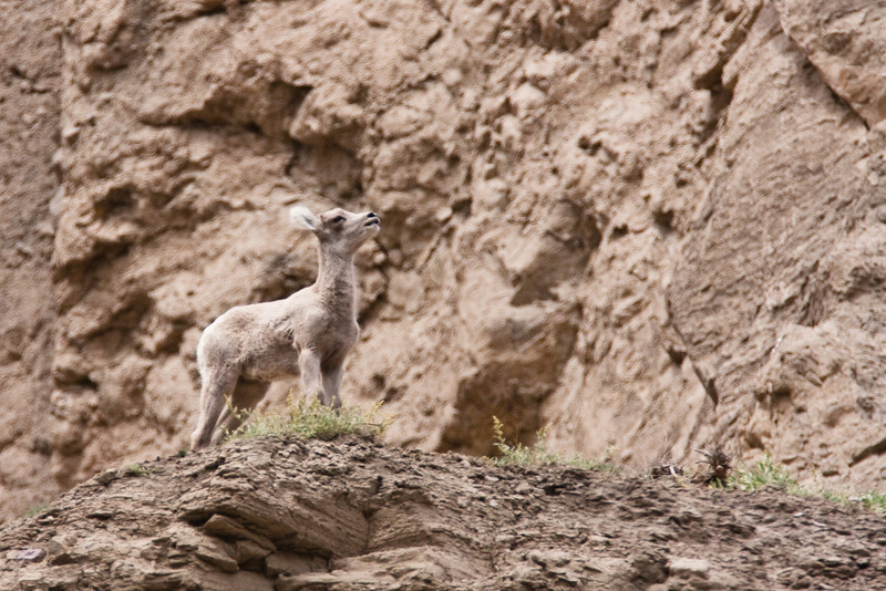 A young bighorn sheep surveys its domain just north of Mammoth Hot Springs. In actuality, this is a normal behavioral event of all bighorns. They will stand on a cliff like this and expose their chests to the updraft coming up the cliff to help cool themselves off during the summer months.
