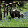 Calves in Bluebonnets