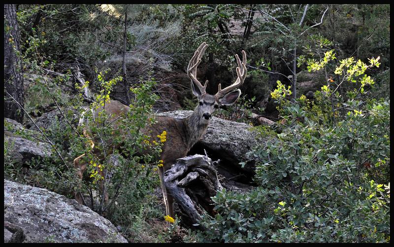Mule Deer Buck in Canyon