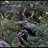 Mule Deer Buck in Canyon