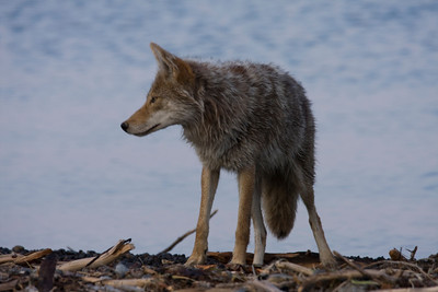 Is that a griz?!? A coyote on the beach at Lake Yellowstone looking at a young grizzly bear. July 2008 Dori Lewis