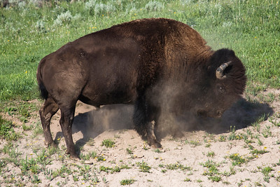 """Kickin' Up Dust"" Bison Preparing to Wallow Bison wallow for two reasons. The primary is to help remove various insects from the coats. The second is to expose moist cooler dirt that will then cool them down. 2008"