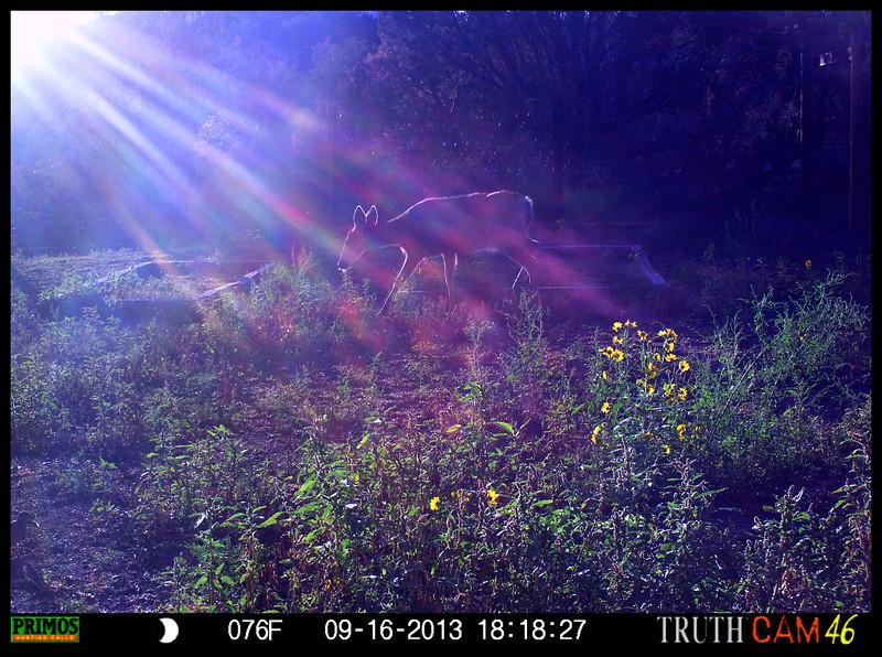 Streaming Light Mule Deer