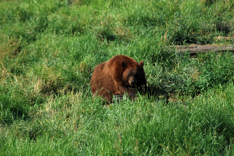 All the bears in the sanctuary are the same species - black bears - despite the variations in color