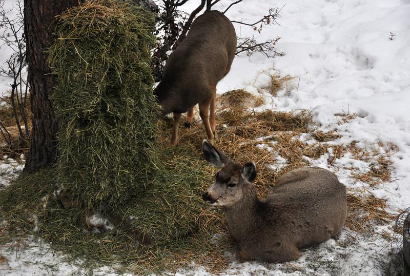 Mule deer with alfalfa