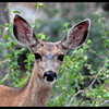 Big Eared Mama Mulie