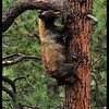 Female Black Bear Climbing a Ponderosa Pine Tree
