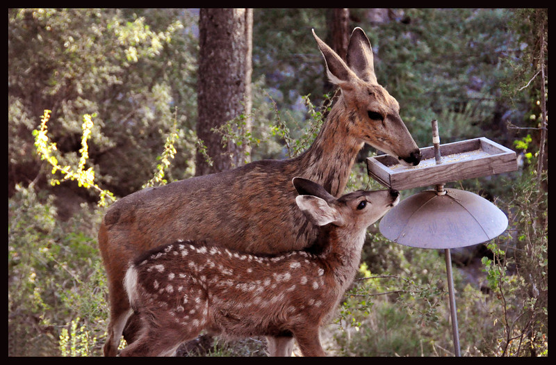Mule Deer Doe with Fawn