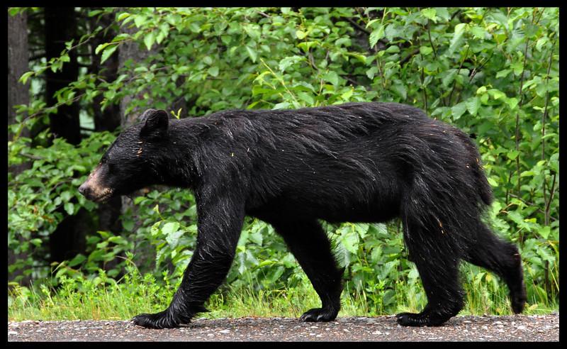 Strolling Black Bear