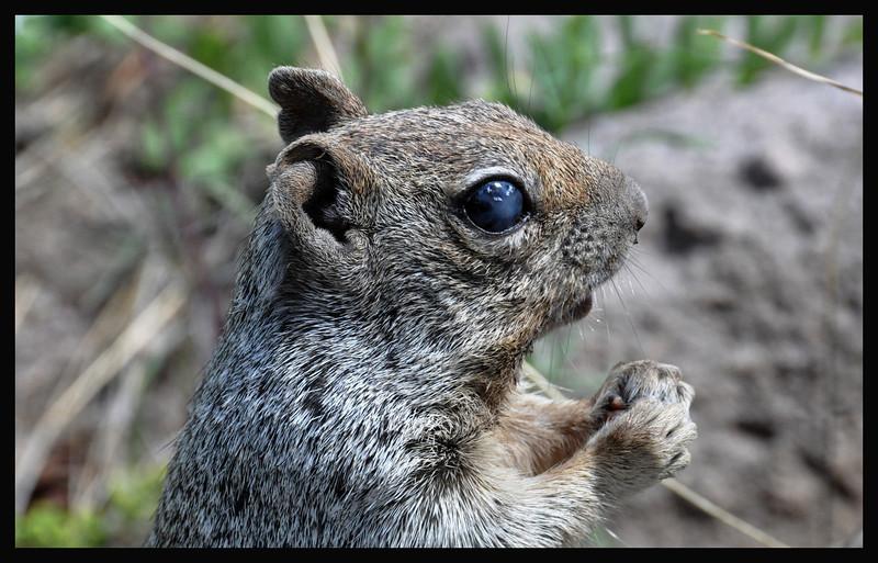 Bad Eye Bill the Ground Squirrel