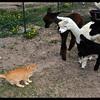 Alpacas study Cat