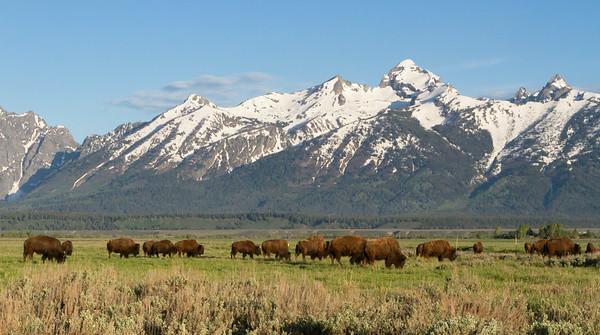 Bison Tetons