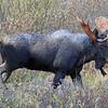 Bull Moose - Kananaskis - Sept 2013