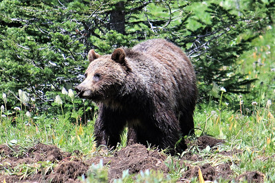 Grizzly at Chester Lake