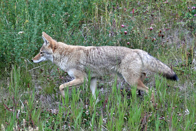 Coyote in Kananaskis