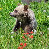 Grizzly Cub Eating Dandelions