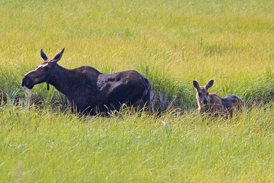 Female Moose & Calf