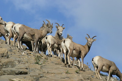 Big Horn Sheep females and young