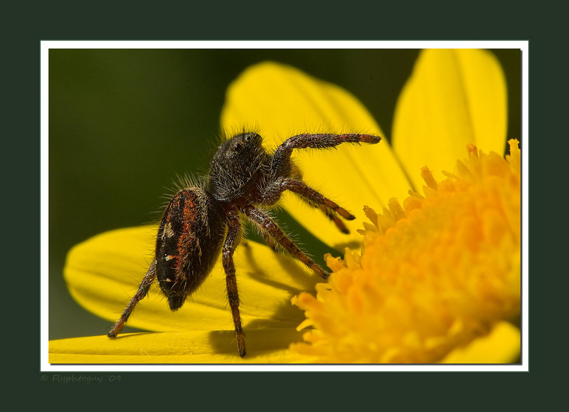 A jumping spider choosing it's ambush spot on a flower in front of my house.