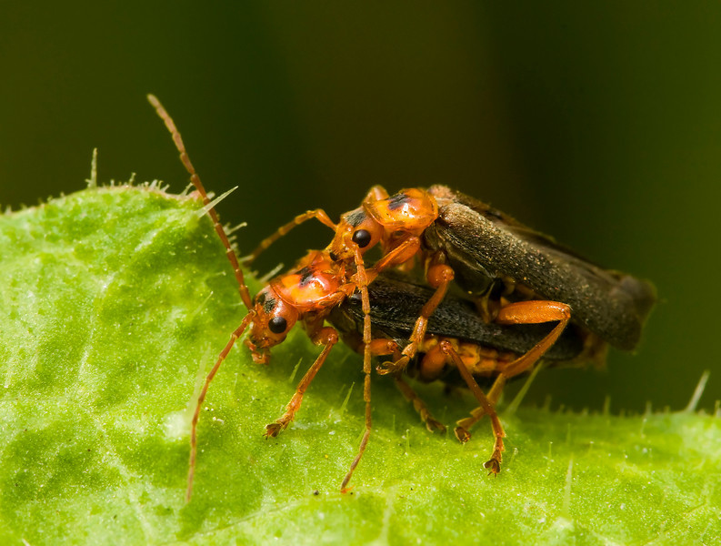 A pair of Soldier beetles.