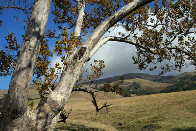 Sycamore With Hills