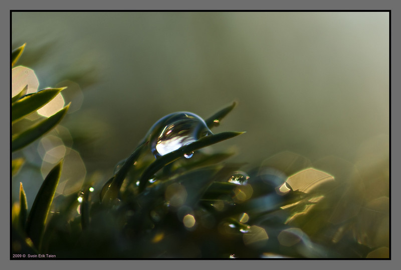 Droplets on juniper - III
