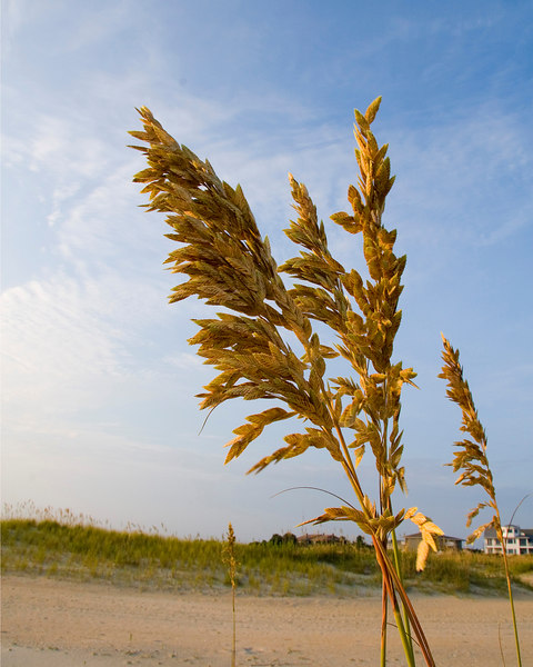 Sea oats at Wrightsville Beach, NC