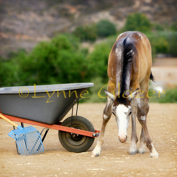 Week 9: A Girl and Her Toys<br /> <br /> Last week was really from early August.  Oh, well.  Here's Ms. Twix in full molt-mode.  She has always thought that the wheelbarrow and fork are for her amusement.