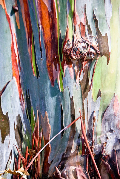 Rainbow eucalyptus tree, Fairchild National Botanic Garden, Miami