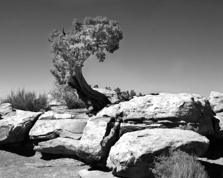 Tree in Canyonlands National Park in Utah.