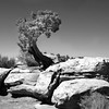 Tree in Canyonlands National Park in Utah.